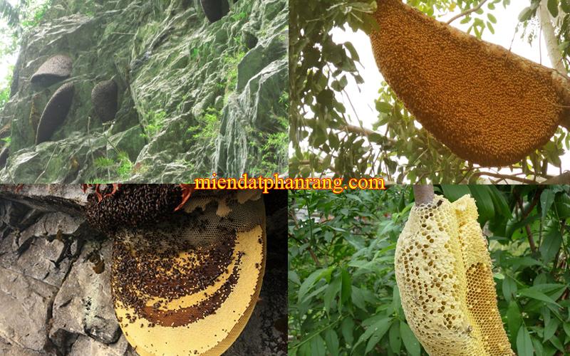 Tổ Ong Núi Rừng Phan Rang