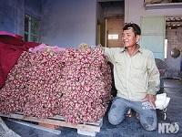 Hành tím được mùa , được giá nông dân Nhơn Hải phấn khởi