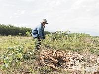 Khoai mì được mùa tại huyện Ninh Sơn Bác Ái