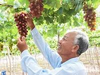 Vùng đất nắng Ninh Thuận phát triển giống nho ăn tươi mới