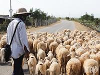 Thích ứng với khô hạn để phát triển chăn nuôi
