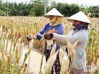 Mô hình sản xuất đạt hiệu quả kinh tế cao được nhân rộng ở Ninh Phước