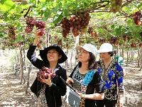 Du lịch sinh thái vườn đi kèm với trồng nho tại huyện Ninh Hải