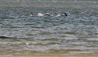 Đã có người chụp được bức ảnh thuyết phục nhất về quái vật hồ Loch Ness
