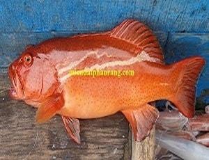 Cá Mú Biển Phan Rang